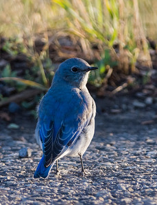 Mountain Bluebird, Female