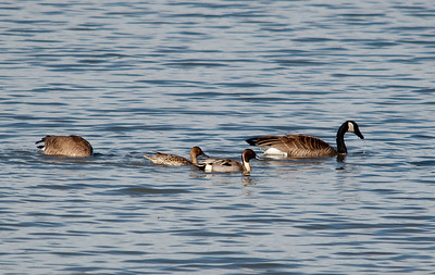 PinTail Duck - Male and Female