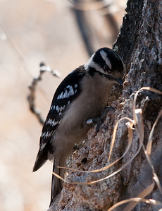 Downey WoodPecker - Female