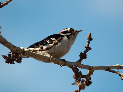 Downey Woodpecker - Male