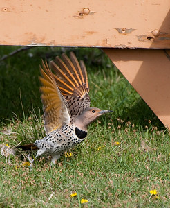 Northern Flicker - yellow shafted?
