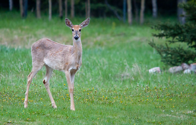 White Tailed Deer
