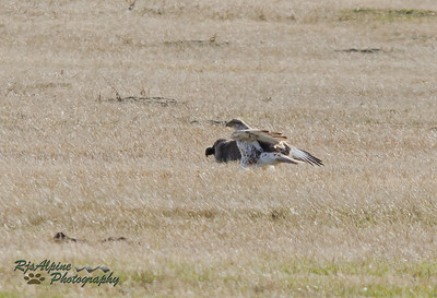 North American Badger & ferruginous hawk