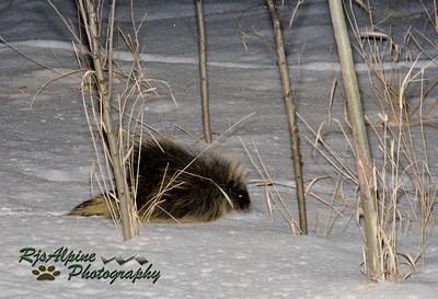 North American Porcupine North American Porcupine