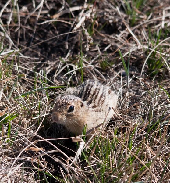 Ground Squirrel - Thirteen Stripped