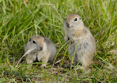 Ground Squirrel - Richardson