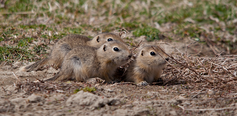Ground Squirrel - Richardson - young