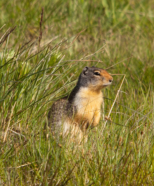 Ground Squirrel - Columbian