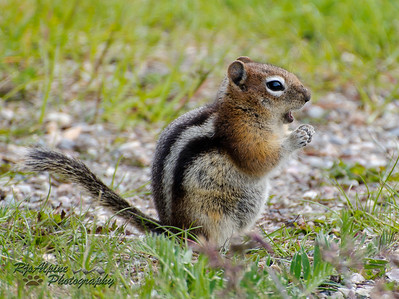 Chipmunk - Golden Mantled