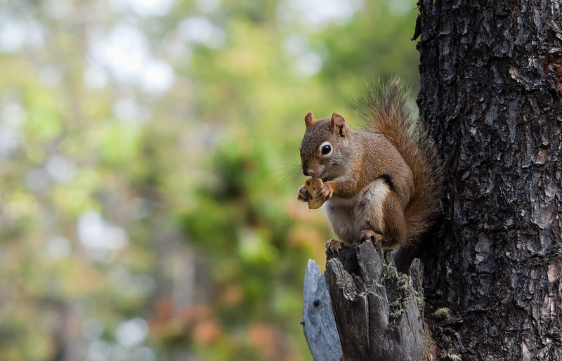 Squirrel - Red