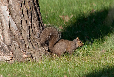 Squirrel - Eastern Gray