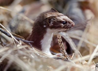 Least weasel