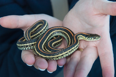 Red sided garter snake - we picked him up because he was on the road,   was carefully Moved(and painfully via a thornbush for me) to a nice warm field with cover for him.