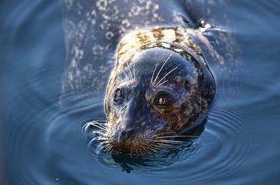 Harbor Seal (ゼニガタアザラシ)