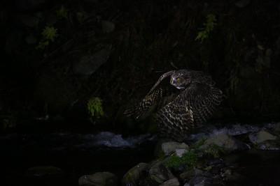 シマフクロウ (Blakiston's fish owl)