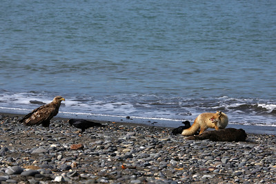 Ezo red fox and white-tailed eagle