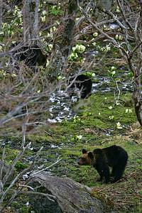ヒグマの親子(Brown Bear)
