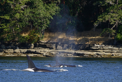 Family of Southern resident killer whales