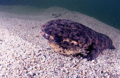 Japanese giant salamander(オオサンショウウオ)