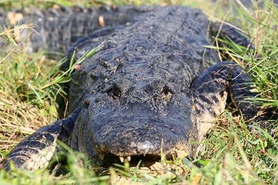 American Alligator (アメリカアリゲーター)