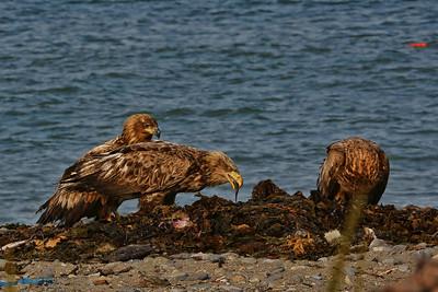 オジロワシ(若鳥)White-tailed eagle