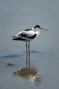 Recurvirostra avosetta