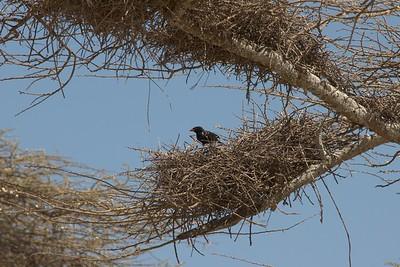 Bubalornis niger