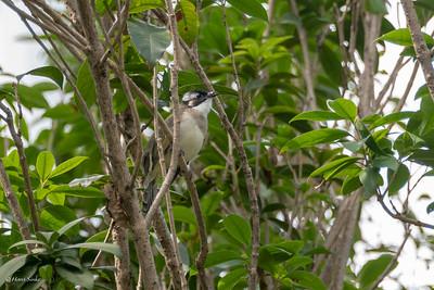 Pycnonotus sinensis