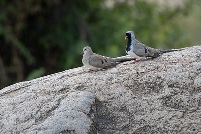 Oena capensis