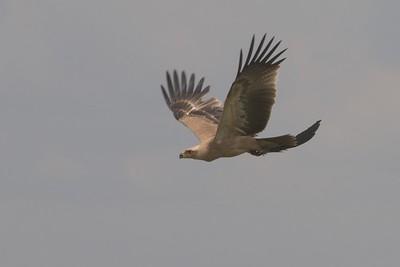 Aquila rapax