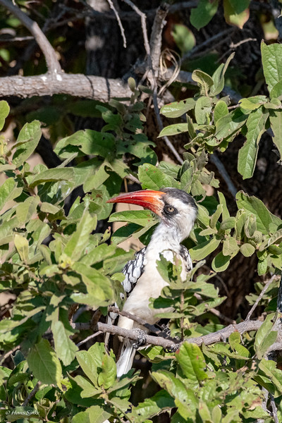 Tockus erythrorhynchus