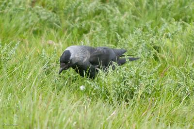 Corvus monedula