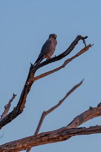 Falco ardosiaceus