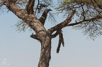 Halcyon senegalensis