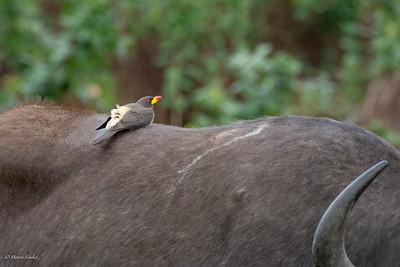 Buphagus africanus