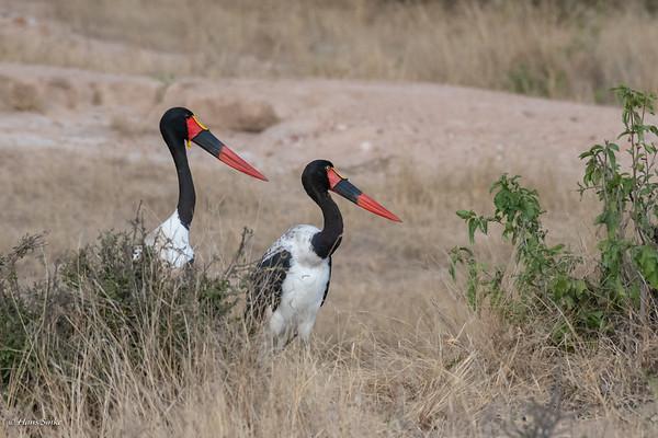Ephippiorhynchus senegalensis