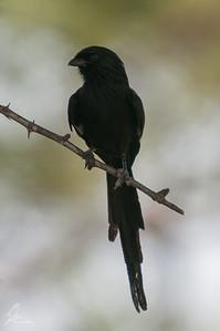 Corvinella melanoleuca