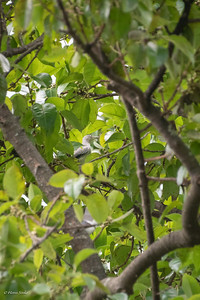 Sturnia sinensis