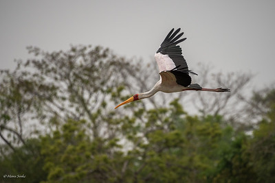 Mycteria ibis