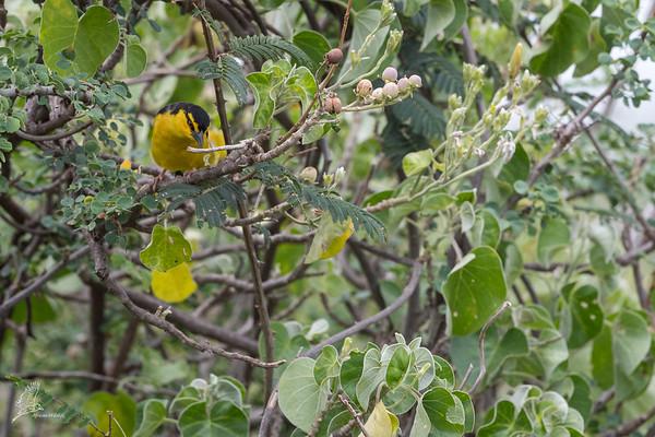 Ploceus nigricollis melanoxanthus