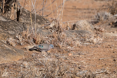 Turtur chalcospilos