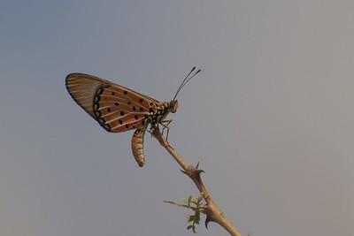 Acraea oncae