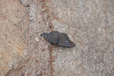 Hamanumida daedalus