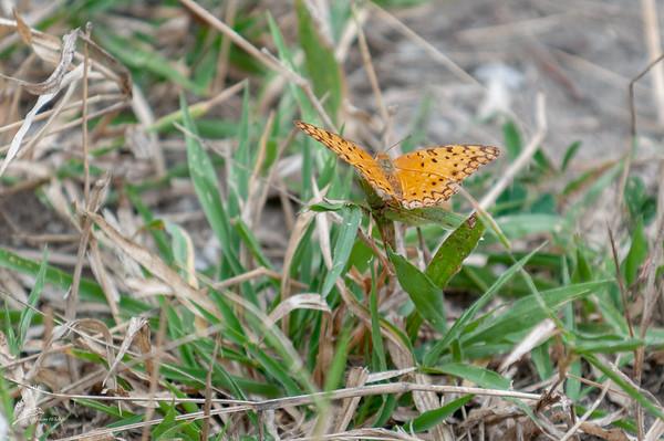 phalanta phalantha aethiopica