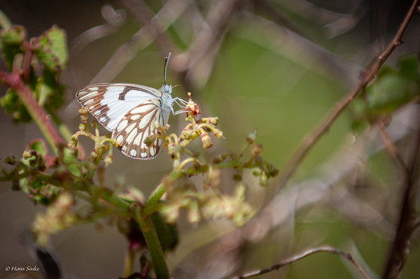 Belenois aurota