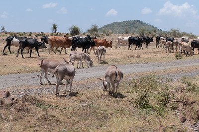 Equus africanus asinus
