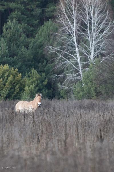 Equus ferus przewalskii