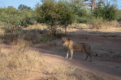 Lion (ssp. melanochaita)