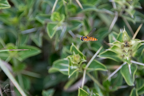 Syrphidae (family)
