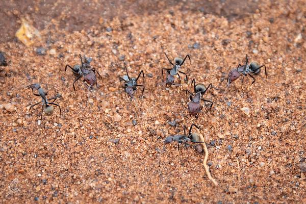 Camponotus vestitus
